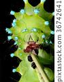 caterpillar, larva, worm 36742641