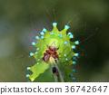 caterpillar, larva, green 36742647