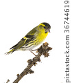 siskin, bird, birds 36744619