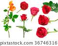 กุหลาบ,ดอกกุหลาบ,เปลี่ยว 36746316