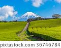【靜岡縣】富士山和茶園 36746784