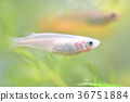 medaka rice fish, fish, fishes 36751884