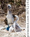 Blue Footed Booby Family 36752141