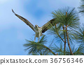Perched Osprey with wings spread. 36756346