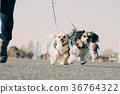Multi-headed dog walking mongrel 36764322