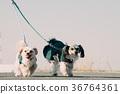 Multi-headed dog walking mongrel 36764361