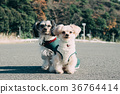 Multi-headed dog walking mongrel 36764414