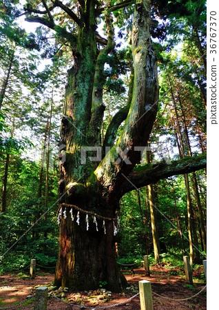 삼나무 36767370