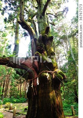 삼나무 36767373