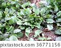 萝卜 荠菜 七朵春分花(爪哇水芹) 36771156