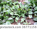 turnip, shepherd's purse, seven vernal flowers (java water dropwort 36771156