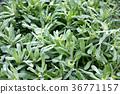 turnip, shepherd's purse, seven vernal flowers (java water dropwort 36771157