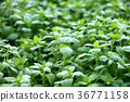 蔬菜 日本乳頭麥汁 佛耳草球衣 36771158