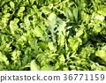 蔬菜 萝卜 荠菜 36771159
