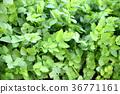 蔬菜 日本乳頭麥汁 佛耳草球衣 36771161
