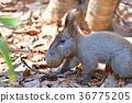 松鼠 北海道松鼠 日本北海道松鼠 36775205