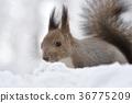 松鼠 日本北海道松鼠 松鼠常見的東 36775209