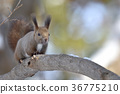 松鼠 日本北海道松鼠 松鼠常見的東 36775210