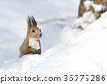 松鼠 日本北海道松鼠 松鼠常見的東 36775286