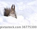 松鼠 日本北海道松鼠 松鼠常見的東 36775300