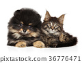 Cat and dog together on white 36776471