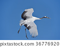 red-crowned, crane, fly 36776920