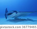 魟魚 蝠鱝 海底的 36779465