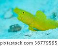 鱼 咸水鱼 海水鱼 36779595