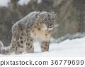 snowy, snow, leopard 36779699
