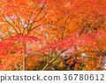 단풍, 단풍나무, 단풍 나무 36780612