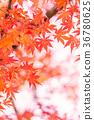 단풍, 단풍나무, 식물 36780625