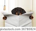 dog sitting on toilet 36780824