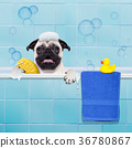dog in shower 36780867