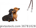 couple of dogs and owner  with leash 36781028