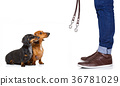 couple of dogs and owner  with leash 36781029