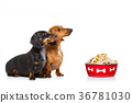 healthy dogs  with food bowl and owner 36781030