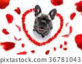 happy valentines dog 36781043