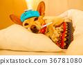 Sick ill sleeping dog 36781080