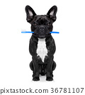 dental toothbrush dog 36781107