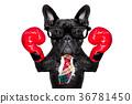 boxing dog 36781450