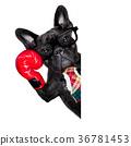 boxing dog 36781453