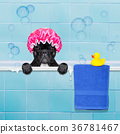 dog in shower 36781467