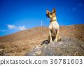 dog watching 36781603