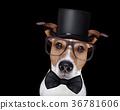 smart dog isolated on black 36781606