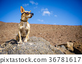 dog watching outdoors 36781617