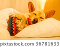 Sick ill sleeping dog 36781633