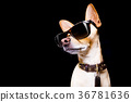 posing dog with sunglasses 36781636
