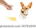 狗 狗狗 地板 36781649