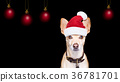 santa claus christmas  dog on black backgroud 36781701
