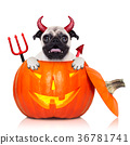 halloween pumpkin witch dog 36781741